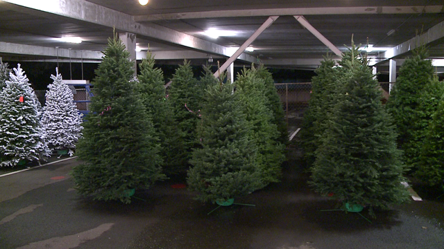 - Businessman Ready To Sell Fresh Christmas Trees Big And Small