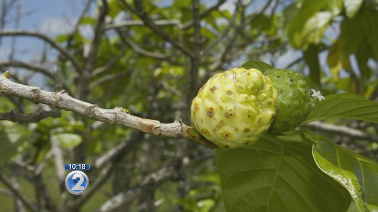 UH cancer researchers study healing properties of noni